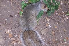 Stratford Squirrel