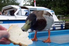 Duck for Tea, Norfolk Broads